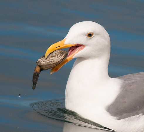 Gull with Clam Catch