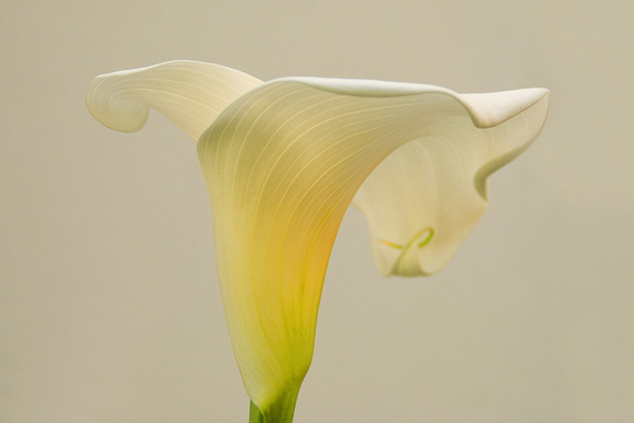 Calla Lily in Afternoon Light