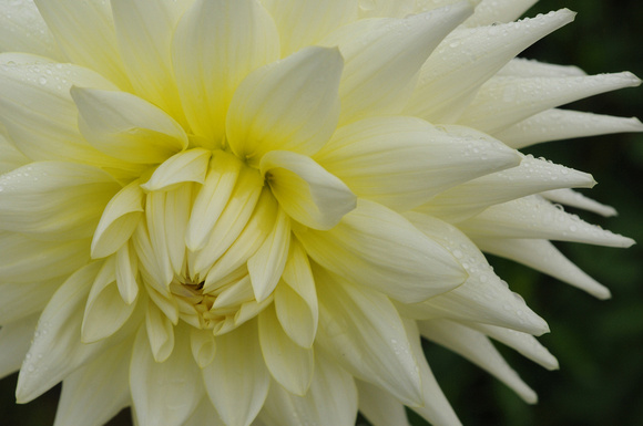 Soft Yellow Dahlia Bloom with Raindrops