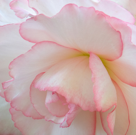 Pink Rimmed White Begonia